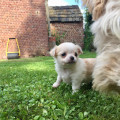 Chiot Chihuahua à poil long mâle à vendre