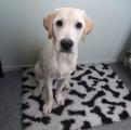 Chiot Labrador 4 mois à vendre