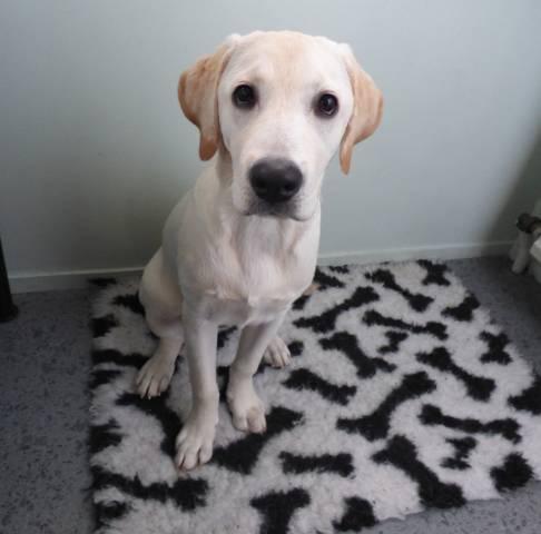 Chiot Labrador 4 Mois A Vendre Petite Annonce Chien