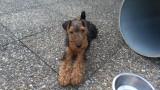 Vend un chiot Welsh Terrier