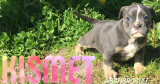Chiots Old English Bulldog à vendre