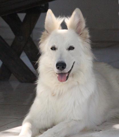 chiots berger blanc suisse lof  u00e0 vendre   petite annonce chien