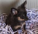 Superbes bébés Chihuahuas poil long LOF