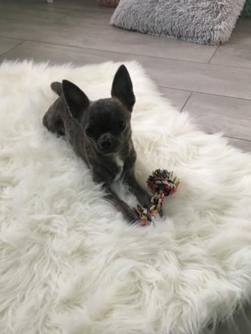 Chihuahua Bleu Poil Court LOF Mâle disponible pour saillie