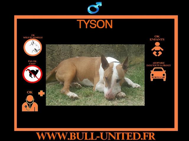 Vend Tyson, Bull Terrier de 3 ans