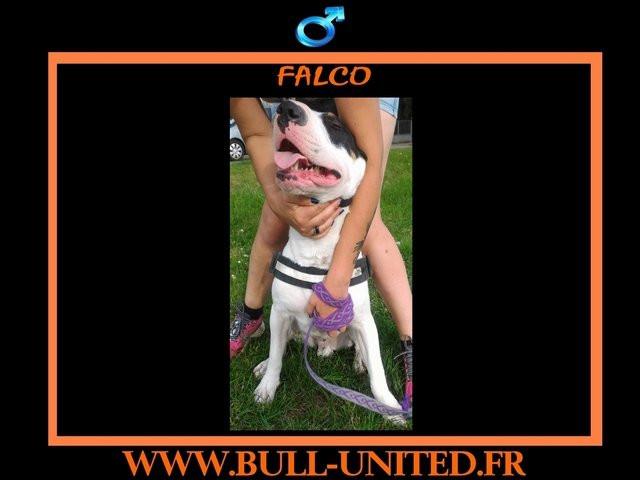 Vend Falco, Bull Terrier de 2 ans