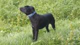 Donne Labrador croisé Jack Russel
