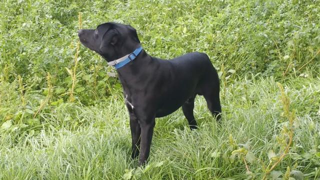 Labrador Jack Russel