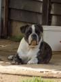 Vend 8 chiots Old English Bulldog - 7 mâles & 1 femelle