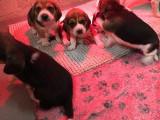 Chiots Beagles tricolore LOF à vendre