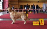 Jeune champion Golden Retriever disponible pour saillie