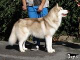 Donne Husky Sibérien mâle LOF