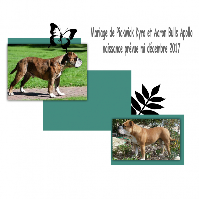 Chiot Bulldog Continental  LOF à réserver