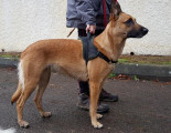 Chienne Malinois à adopter