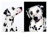 Chiots dalmatien à réserver