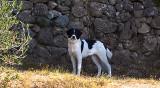 Donne chien mâle Montagne des Pyrenées (Patou) croisé Border Collie