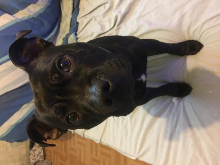 Vend un chien Staffordshire Bull Terrier mâle