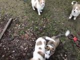 Vend 3 chiots Chiens de Canaan - 1 mâle & 2 femelles