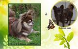 A réserver très jolie femelle chihuahua, poil long, LOF,  chocolat et tan