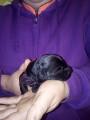 Chiots Kerry Blue Terrier à vendre