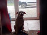 chiot  americain bulldog née le 23 décembre 2017
