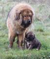 Magnifique Mastiff Tibétain