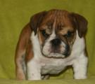 Chiots  Bulldog Anglais LOF, origines exceptionnelles, à vendre