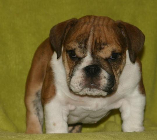chiots bulldog anglais lof origines exceptionnelles vendre petite annonce chien. Black Bedroom Furniture Sets. Home Design Ideas