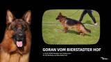 Vend 6 chiots Bergers Allemands - 3 mâles & 3 femelles