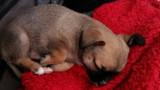 Chihuahua non LOF à vendre
