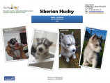 Siberian Husky à vendre