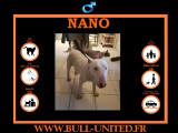 Bull Terrier de 10 mois à vendre