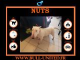Nuts, Bull Terrier à vendre