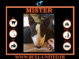 Mister, Bull Terrier à vendre