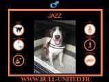 Jazz, Bull Terrier à vendre