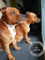 Chiots Staffordshires Bulls Terriers à vendre