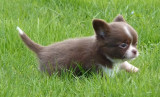 2 chiots Chihuahuas LOF à vendre