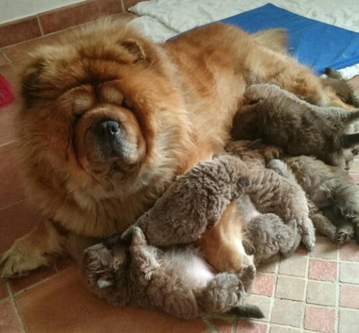 India et ses chiots chow chow