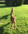Chiots Airedales Terriers à vendre