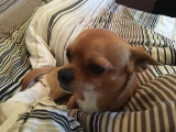 Chihuahua disponible pour saillie