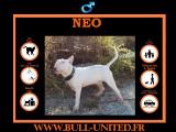 NEO, Bull Terrier de 11 mois à vendre