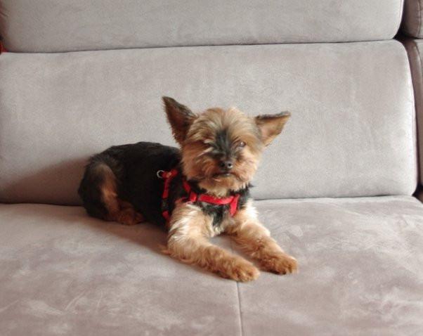 Urgent - donne chienne Yorkshire de 11 ans