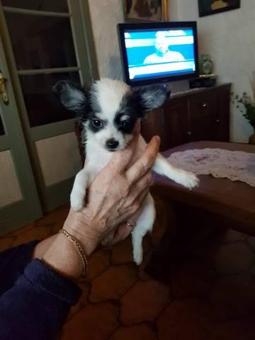 Femelles Chihuahuas Poils Longs A Vendre Petite Annonce Chien