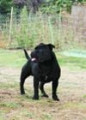 Étalon Staffordshire Bull Terrier disponible pour saillie
