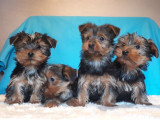 Chiots Yorkshires Terriers disponibles de suite