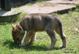 Chiots Chiens Loups Tchécoslovaques à vendre