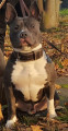 Titan, American Staffordshire Terrier disponible pour saillie
