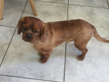 Vend un chien Cavalier King Charles Spaniel mâle