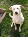 Croisé Golden/Labrador à vendre