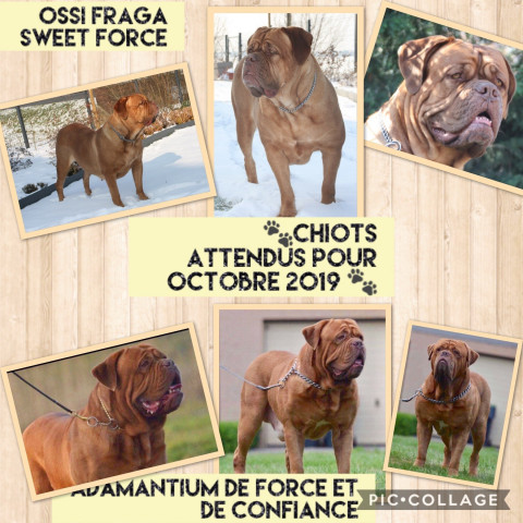 Chiots Dogues de Bordeaux pedigree St-Hubert à vendre